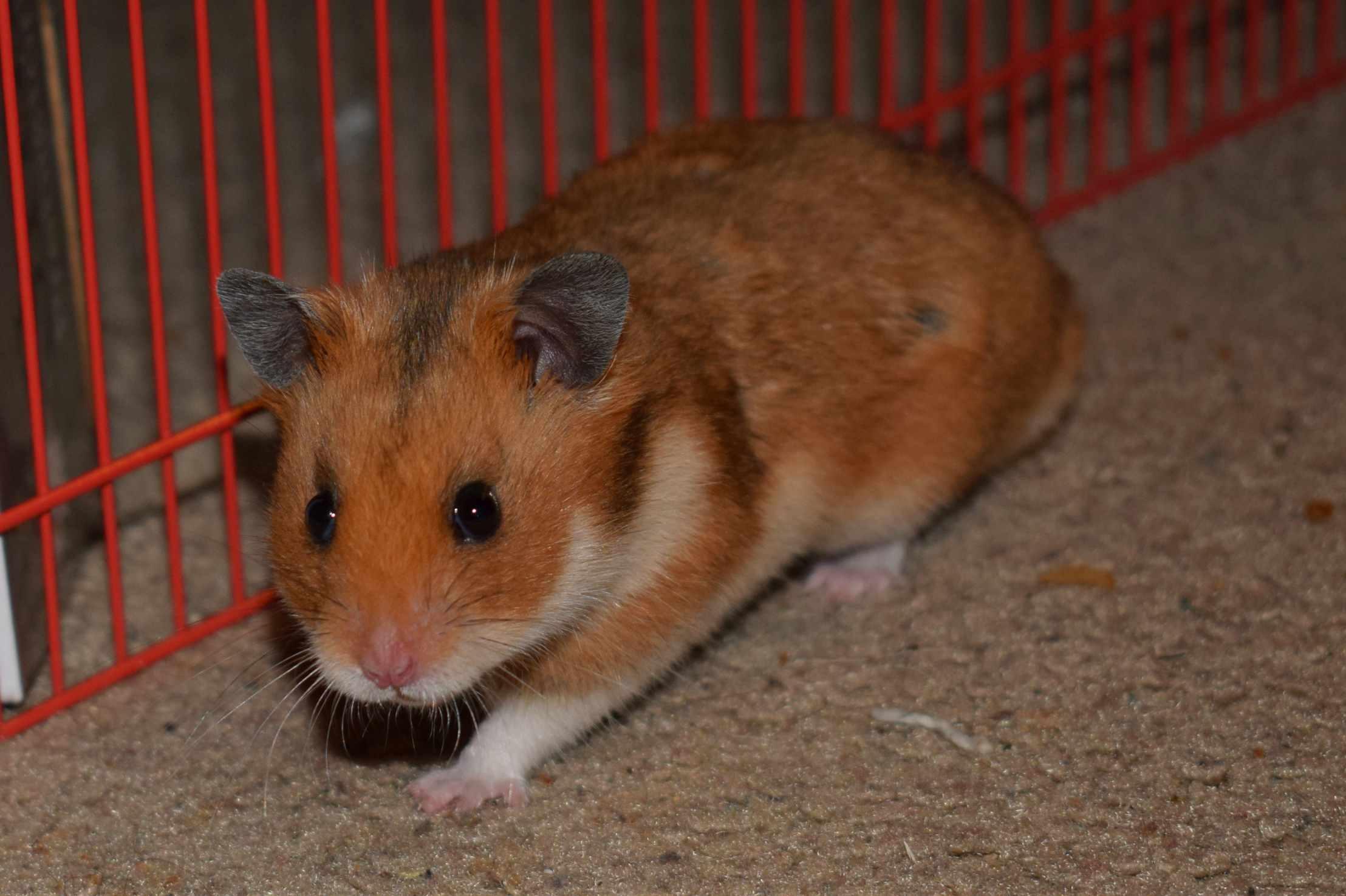 The best hamster